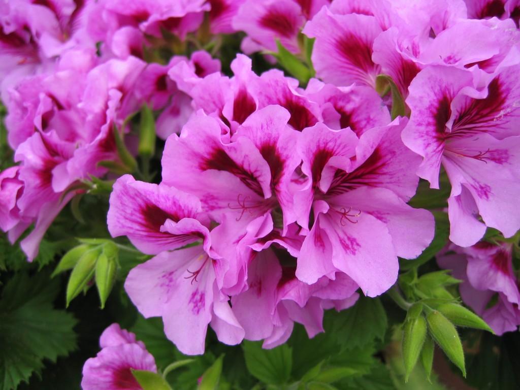 Regalia Lavendel