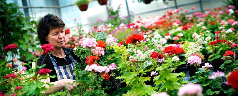 Pelargonhuset på flädergården - Annamaria i växthuset